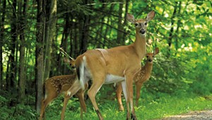 Up to Here in Deer: As Fewer Vermonters Hunt, the Growing Herd Is Becoming a Problem