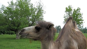 Beloved Vermont Camel Oliver, a Familiar Route 7 Sight, Has Died