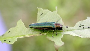 Why Does the Electric Bill Have an Emerald Ash Borer Charge?