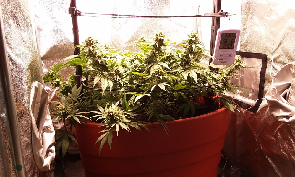 Hemp in a grow tent at Green State Gardener - ELIZABETH M. SEYLER