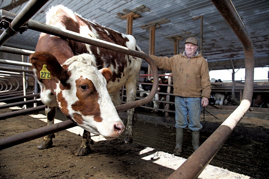 Mark Lussier with his calves on his Sheldon farm - MATTHEW THORSEN