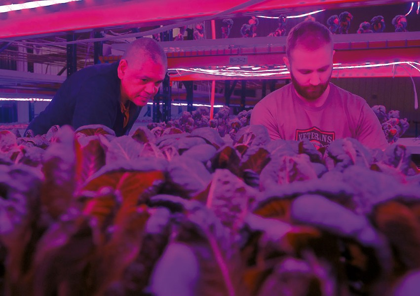 Greg Kelly (left) and Jacob Isham harvesting greens beneath colored LED lights at Ceres Greens - JEB WALLACE-BRODEUR