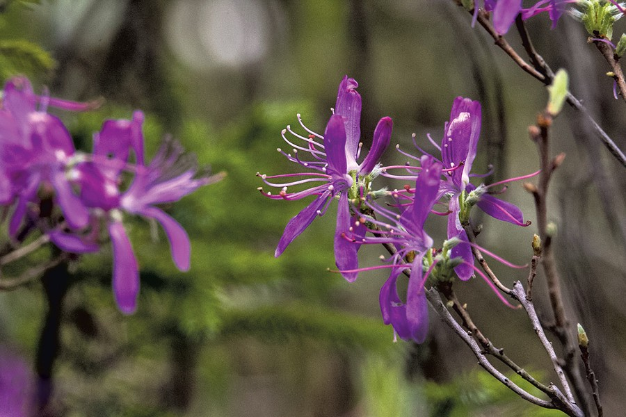 Rhodora - COURTESY OF NANCY PIETTE