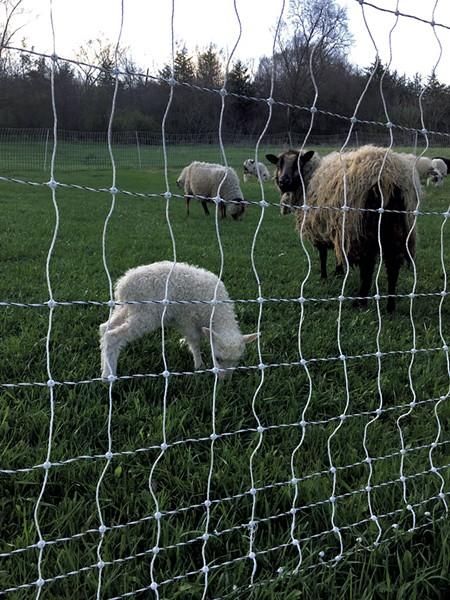 Sheep at Agricola Farm - MELISSA PASANEN