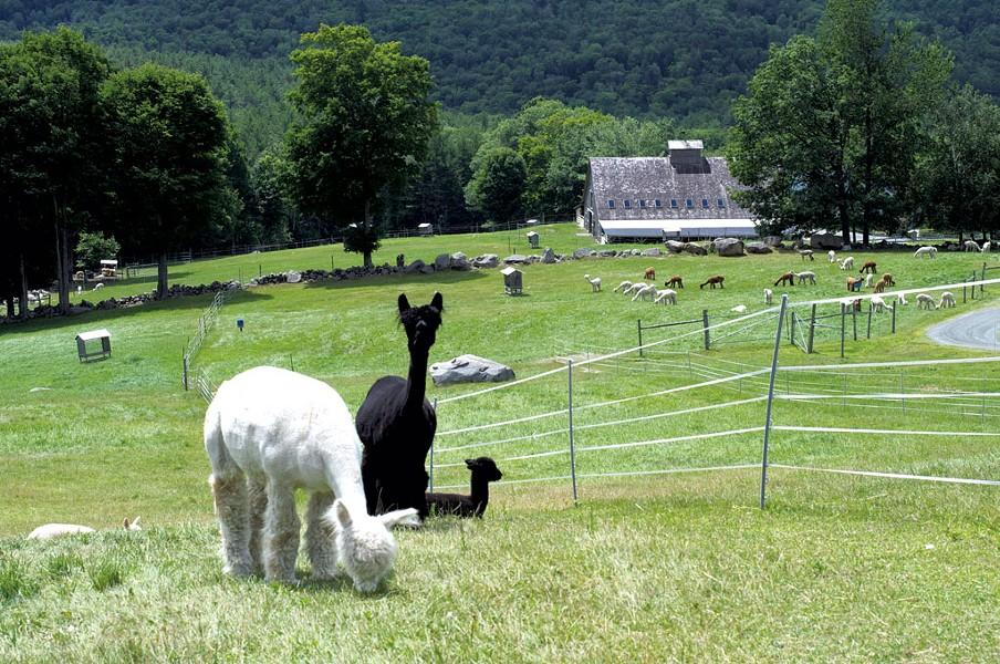 Alpacas at Cas-Cad-Nac Farm - HANNAH PALMER EGAN