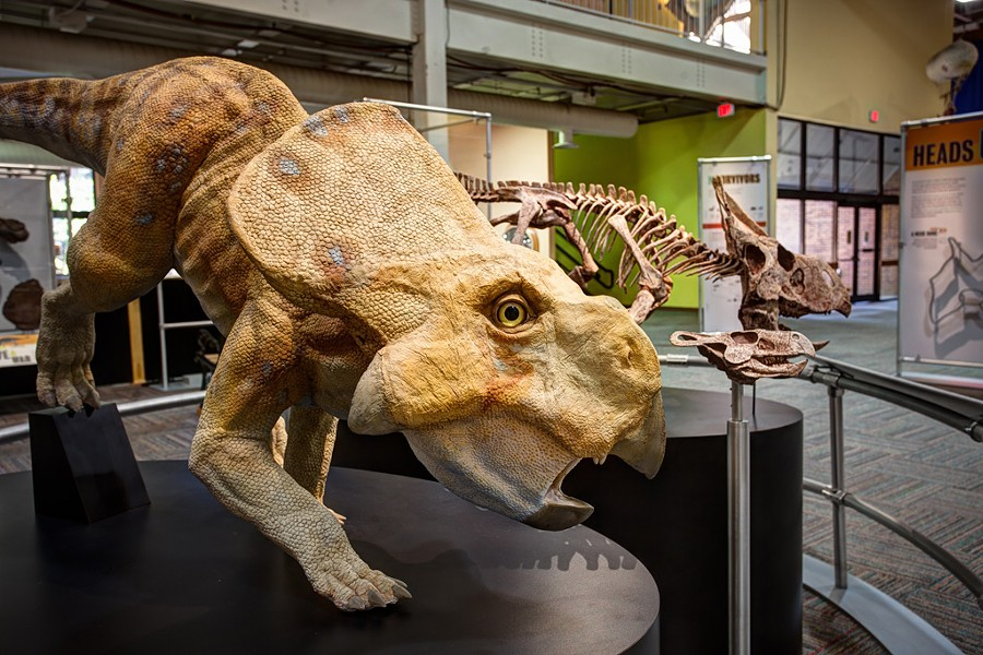 Protoceratops - COURTESY OF FAIRBANKS MUSEUM & PLANETARIUM