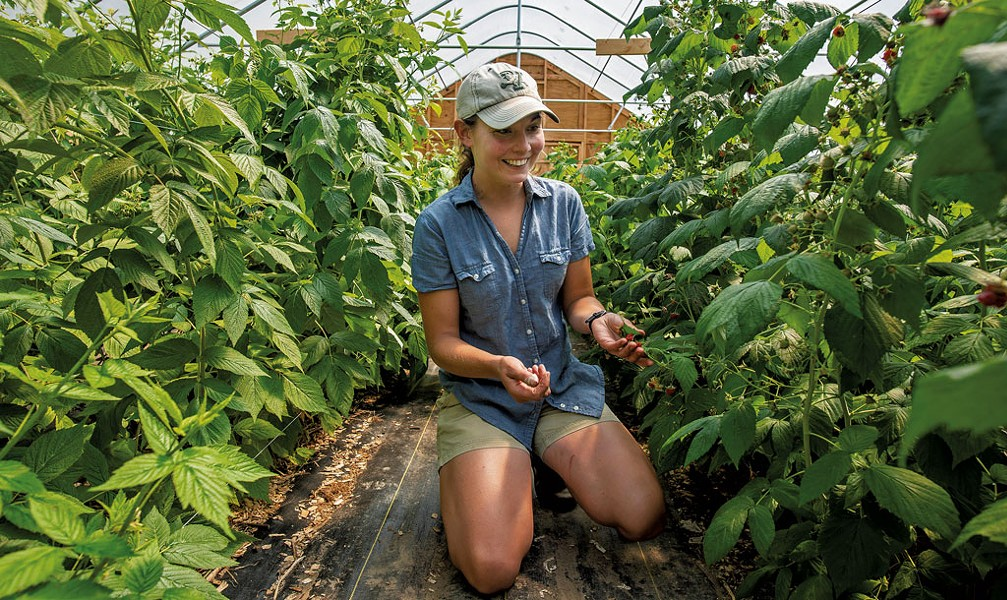 Alisha Utter examining the raspberries growing in one of the high tunnel greenhouses - GLENN RUSSELL
