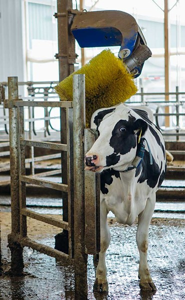 Back scratchers in the barn keep cows comfortable. - COURTESY OF CABOT CREAMERY CO-OPERATIVE