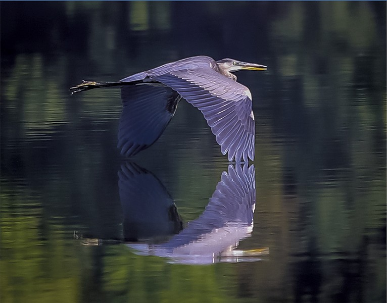 A great blue heron crossing Colchester Pond - PETER RILEY