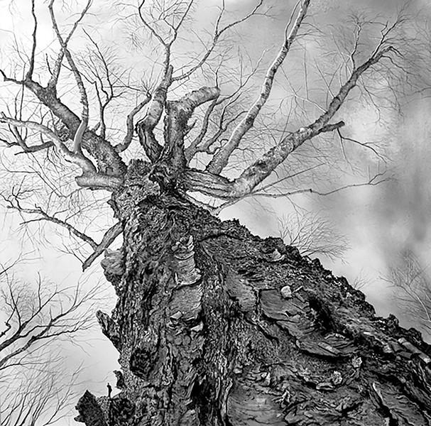 """Old Birch on Elmore Mountain"" - GABRIEL TEMPESTA"