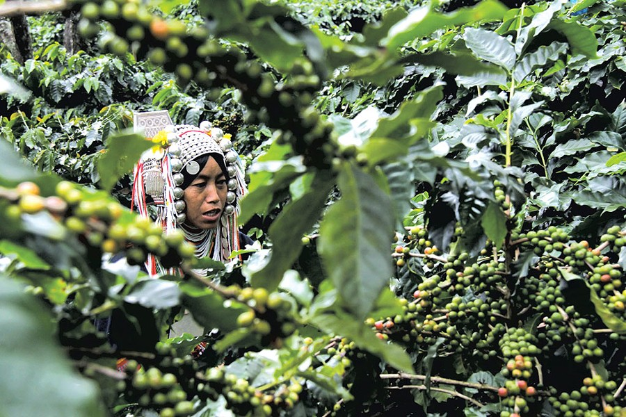 Akha woman picking coffee - COURTESY OF MARK PENDERGRAST