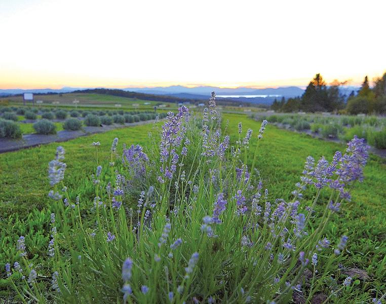 Lavender Essentials of Vermont - COURTESY OF LAVENDER ESSENTIALS OF VERMONT