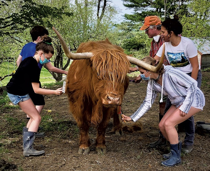 Combing a Highland cow at Greenfield Highland Beef - COURTESY OF OPEN FARM WEEK