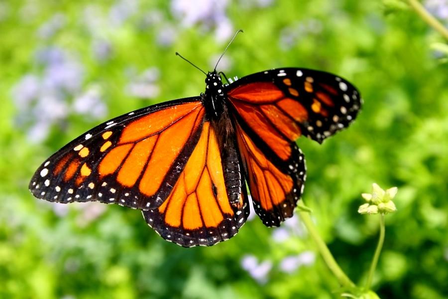A monarch butterfly - ©JOELFISHER   DREAMSTIME.COM