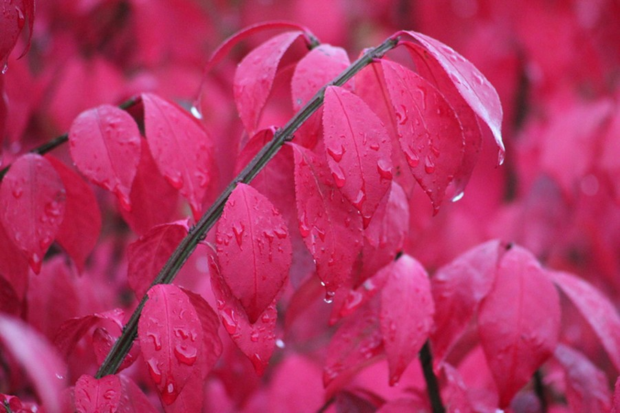 Burning bush (Euonymous alatus)