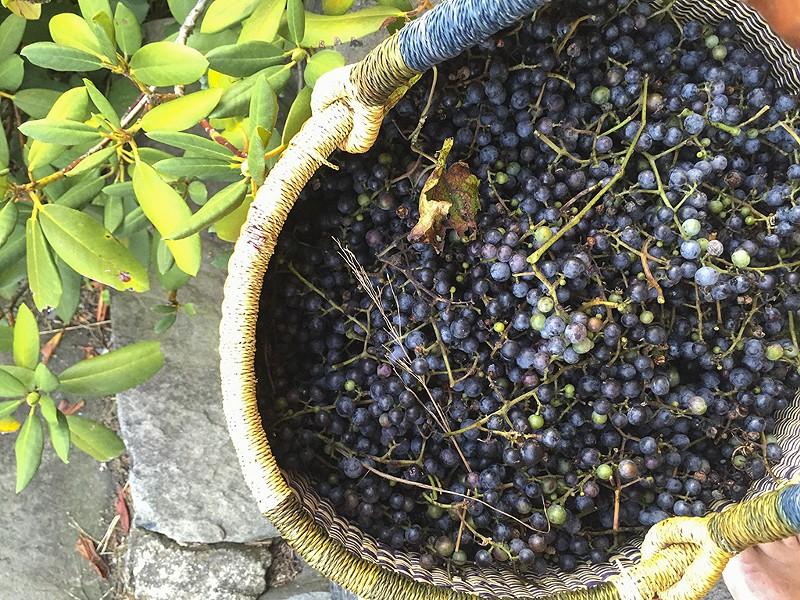 Wild grapes - HANNAH PALMER EGAN