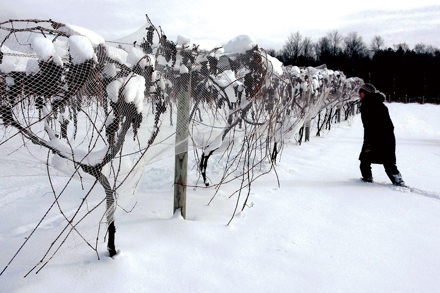Ice wine vines at Lincoln Peak Vineyard - COURTESY OF SARA GRANSTROM/LINCOLN PEAK VINEYARD