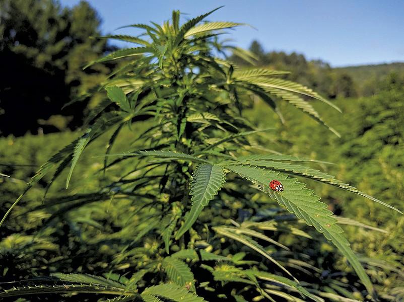 Hemp growing at Green Mountain CBD - COURTESY OF GREEN MOUNTAIN CBD