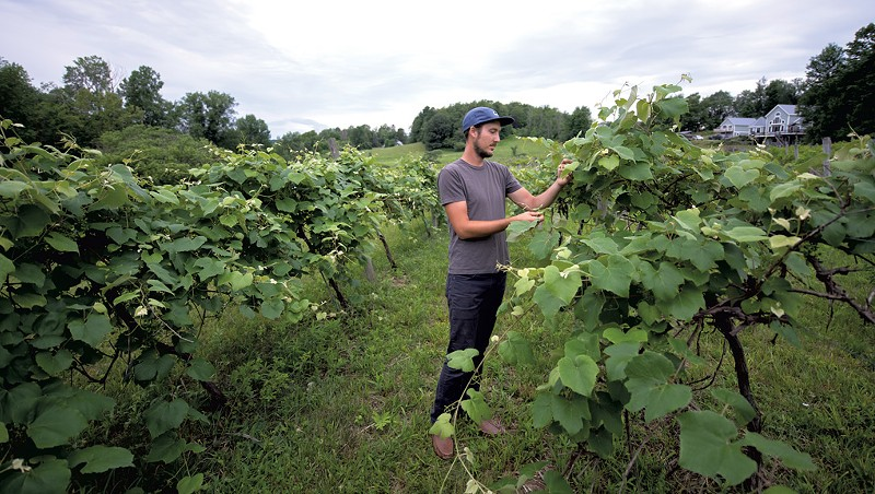 Stephen Wilson inspecting grapes in a Hinesburg vineyard