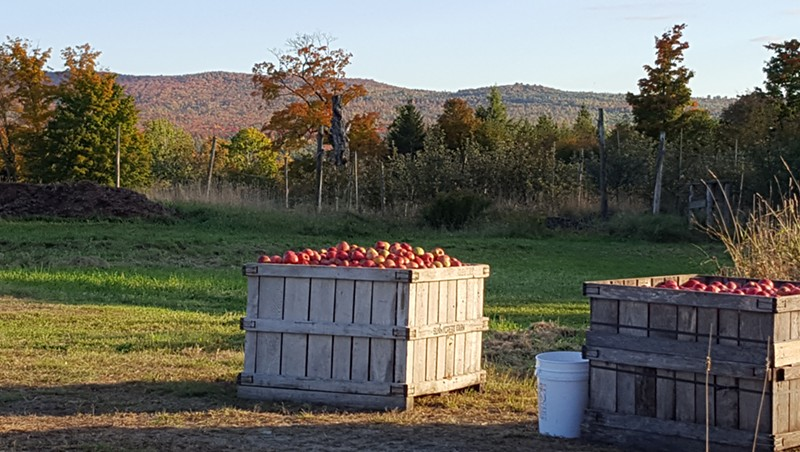 Apple harvest at Eden Specialty Ciders' orchard in Charleston, Vermont
