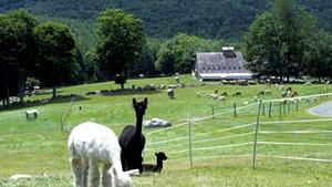 Alpacas at Cas-Cad-Nac Farm