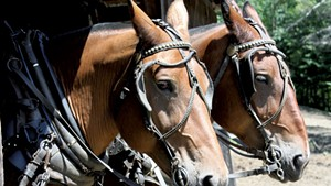 Ted and Petey, two of Carl Russell's 14-year-old draft horses