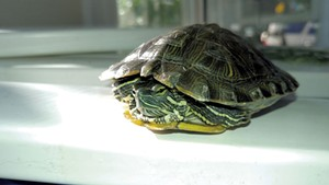 The red-eared slider turtle