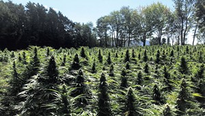 A field of hemp plants
