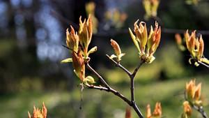 Amur maple (Acer ginnala)