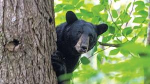 A treed bear