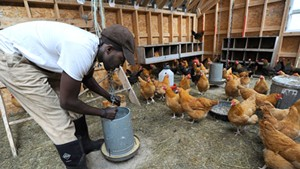 Sterling College student Tofowa Pyle tends to chickens on the school's farm