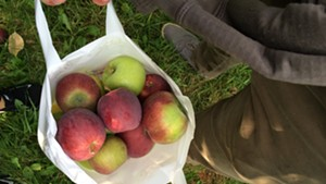 A half-peck of apples at Happy Valley Orchard