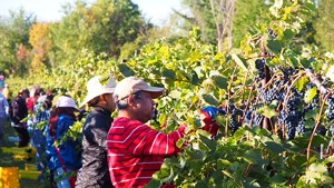 Grape pickers at Shelburne Vineyard