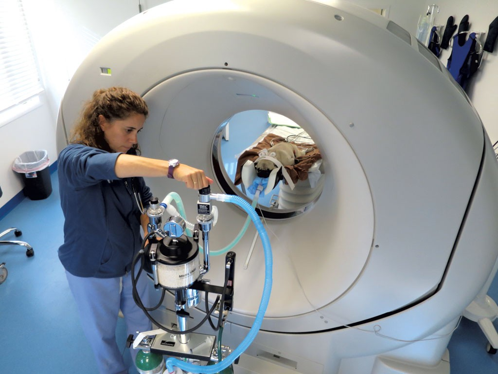 Michelle Senna assisting Gizmo the pug in getting a CT scan - MATTHEW THORSEN