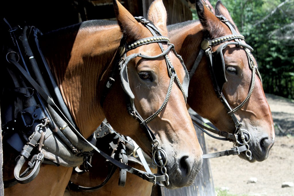 Timber Harvesting With Horsepower Animals Seven Days Vermont S Independent Voice