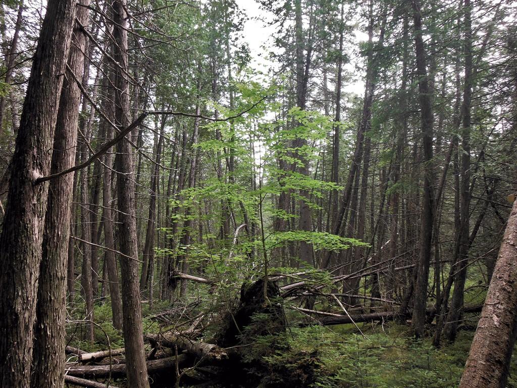 Yellow birch growing out of a fallen tree - ETHAN DE SEIFE