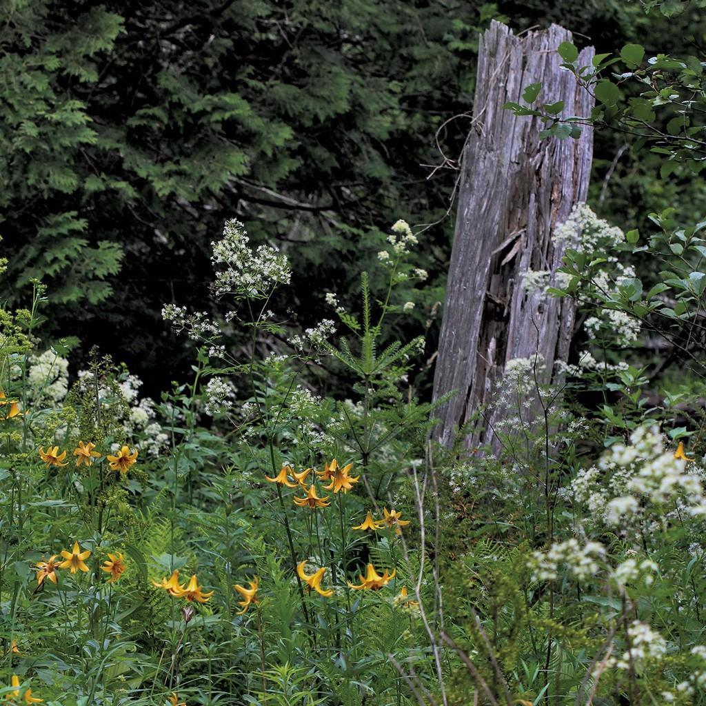 Lilies - NANCY PIETTE