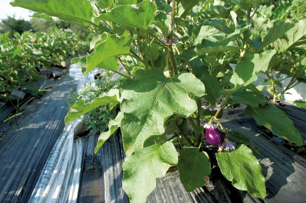 Eggplant - HANNAH PALMER EGAN