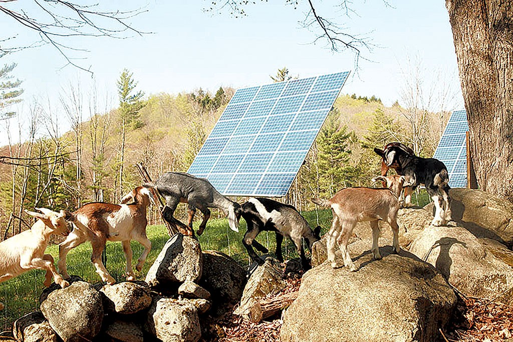 The goats of Big Picture Farm with USDA-funded solar panels - COURTESY OF BIG PICTURE FARM