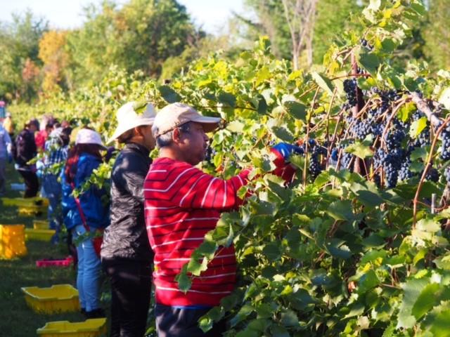 Grape pickers at Shelburne Vineyard - COURTESY OF KENNETH ALBERT