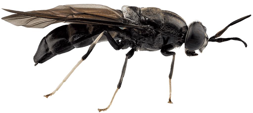 Blackfly - DREAMSTIME