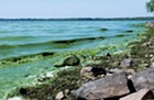 Blue-green algae in Lake Champlain.