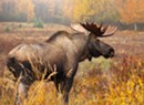 A Sharply Reduced Vermont Moose Hunt Gets Preliminary Approval