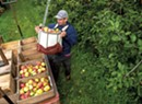 Fruits of Labor: Vermont Orchards Make Profitable Pivot to Pick-Your-Own Apples