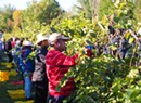 New Americans Join in Shelburne Grape Harvest