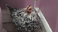 UVM Students Save Escaped Hen From Freezing to Death in Burlington