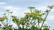 What to Do About Vermont's Poison Parsnip Problem?