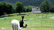 Breeding and BBQ at Cas-Cad-Nac Alpaca Farm