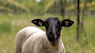 At Shelburne Vineyard, Sip Wine in the Company of Sheep