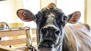 Gamers and Farmers Go Teat-to-Teat at Billings Farm